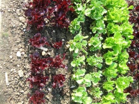 Salat in einem Gemüsefeld