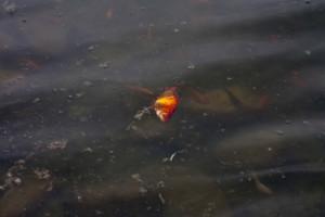 Toter Fisch in einem Tümpel