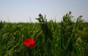 Mohnblume auf Weizenfeld